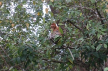 "the Proboscis monkey. Much more ""shy"" and less aggressive than then Macaque monkey. Well known for its large nose!"