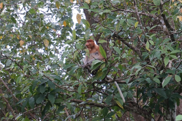 """the Proboscis monkey. Much more """"shy"""" and less aggressive than then Macaque monkey. Well known for its large nose!"""