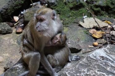 Two Macaque Monkeys