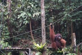 a semi-wild orangutan!!!! one of most memorable parts of the trip!