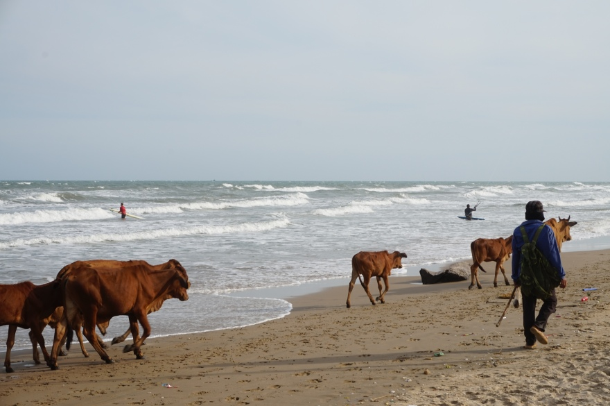 Cows walk the Beach in Mui Ne Vietnam